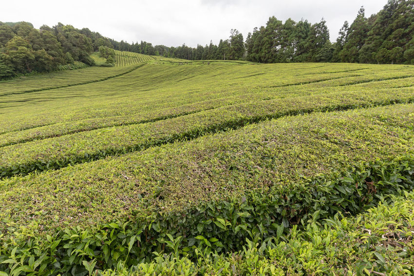 View of part of a tea plantation on the island of Sao Miguel in the Azores, Portugal. Tea Plantation Azores Portugal Green Production Organic Açores Sao Miguel Destination Europe Atlantic São Brás Agriculture Gorreana Tourism Tranquility Growth Field Landscape Plant No People Nature Black Tea Green Tea