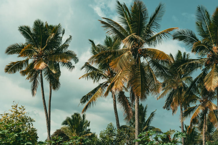 Scenic view of coconut palm trees against sky
