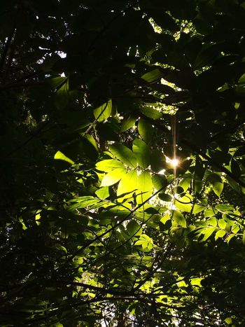 Leaves Growth Leaf Nature Tree No People Plant Sunlight Low Angle View Outdoors Beauty In Nature Day Branch Freshness Close-up