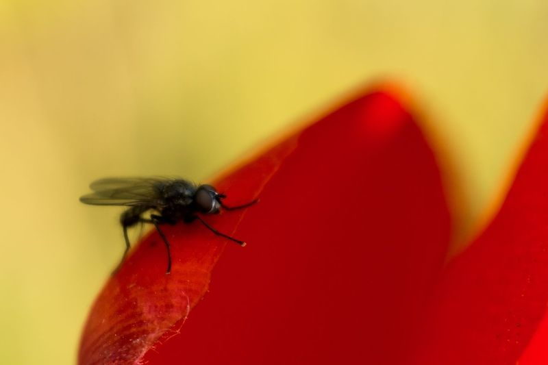 Invertebrate Insect Animal Themes Animal Wildlife Animal One Animal Animals In The Wild Red Close-up Animal Wing Flower No People Beauty In Nature Macro Selective Focus Petal Nature Fly Flowering Plant Flower Head EyeEm Best Shots EyeEm Selects EyeEm Gallery My Best Photo