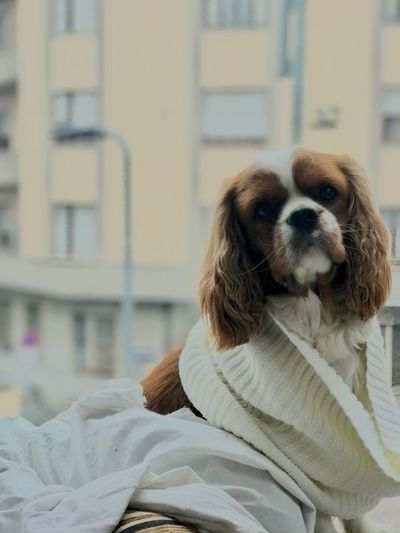 Cavalier King Charles sitting outside window Indoors  Day Peaceful White Cover Portraotire Looking At Camera Window Sitting Outside Cavalier King Charles Spaniel Dog Pets One Animal Domestic Animals Animal Themes Mammal Day Portrait No People Close-up Outdoors