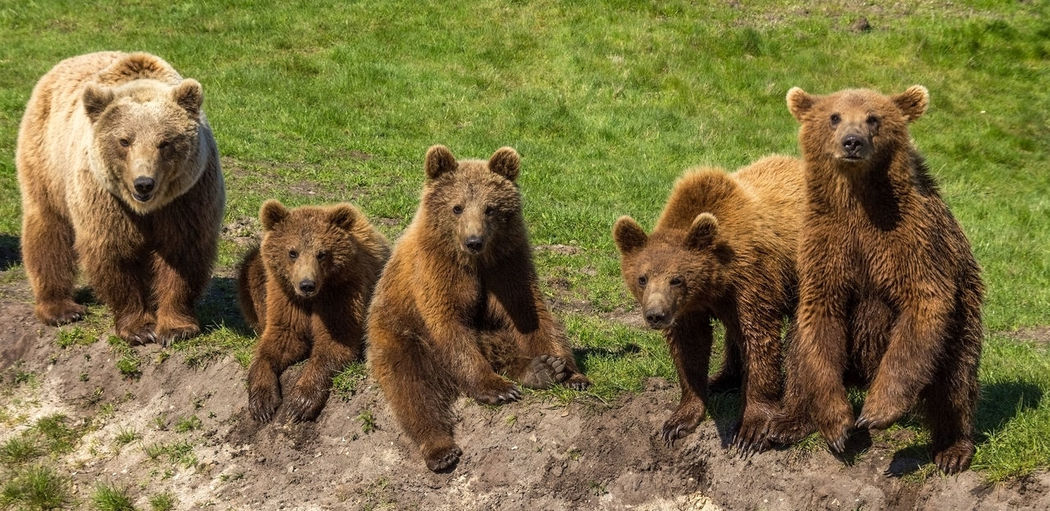 Close-up of grizzly bears on grass field