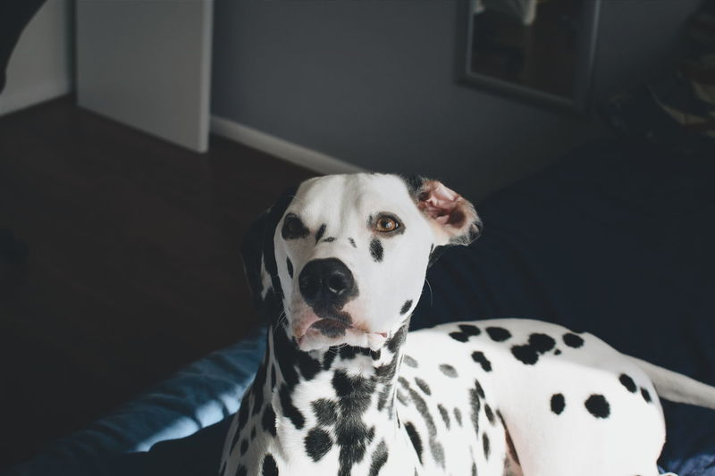 High Angle View Of Dalmatian On Bed