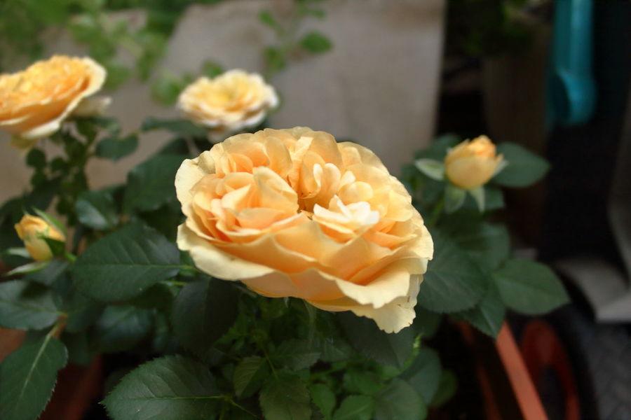Beauty In Nature Estate Flower Giardino Natura Nature Petal Rose🌹 Softness Summer Terrace Gardening Terrazza