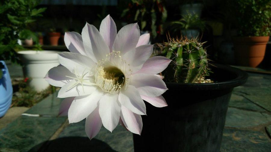 サボテンの花 初めて咲いたよ🎵 Flower