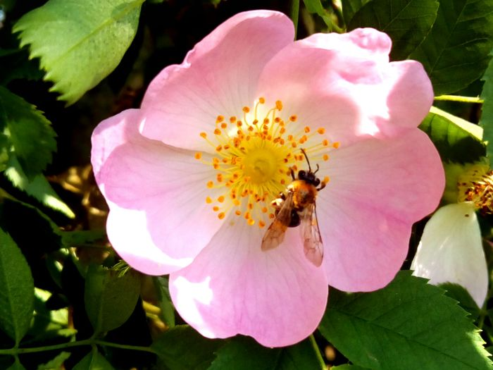 Animal Themes Animals In The Wild Beauty In Nature Bee Blooming Close-up Day Flower Flower Head Fragility Freshness Growth Insect Leaf Nature No People One Animal Outdoors Petal Pink Color Plant Pollen Pollination Wild Rose