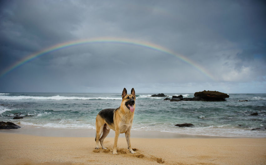 German Shepherd Sticking Out Tongue At Beach Against Rainbow
