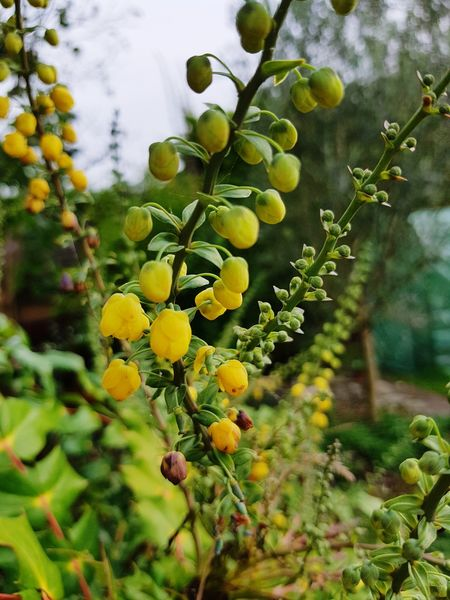 Fruit Plant Green Color Growth Nature Leaf No People Close-up Freshness Grape Citrus Fruit Outdoors Branch Day Agriculture Yellow Vine - Plant Beauty In Nature Healthy Eating Tree Perspectives On Nature