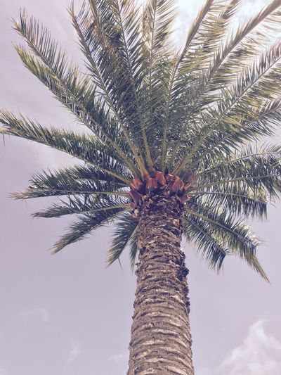 Beauty In Nature Clear Sky Coconut Palm Tree Green Color Low Angle View No People Outdoors Palm Tree Sky Tropical Tree