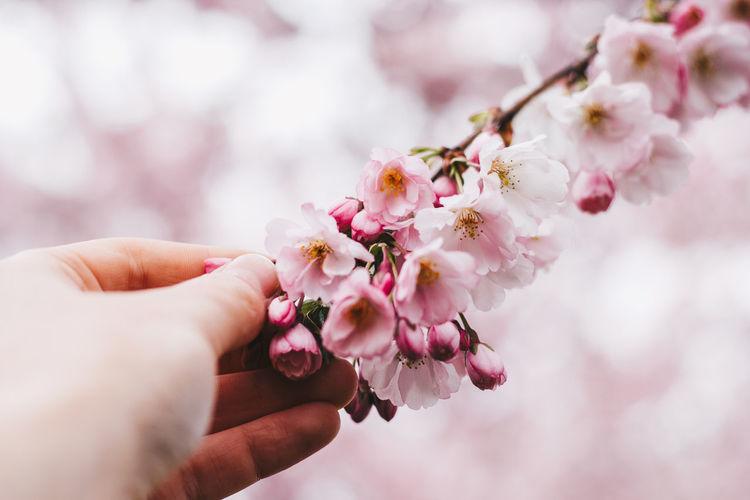 Macro Photography Macro Flower Pinkflower Cherry Blossoms Sakura Blossom Sakura Riga Latvia Human Hand Flower Head Flower Tree Branch Springtime Pink Color Blossom Beauty Close-up Cherry Blossom Blooming In Bloom