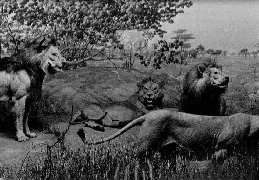 Pride of Lions Wildlife & Nature Animal_collection