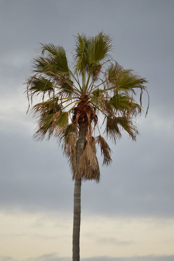 California Cloudy Evening Mission Beach Palm Palm Tree San Diego Sky Tree No Edit No Edit/no Filter