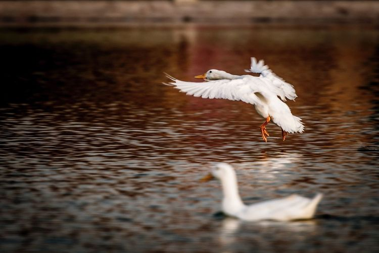Lake Goose Animal Bird Animal Themes Water Animal Wildlife Flying Vertebrate One Animal Animals In The Wild Spread Wings Motion Nature Reflection Seagull