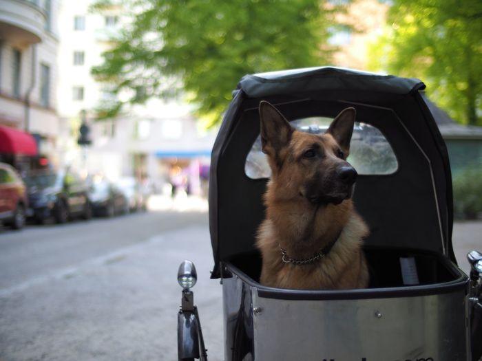 German shepherd on baby carriage