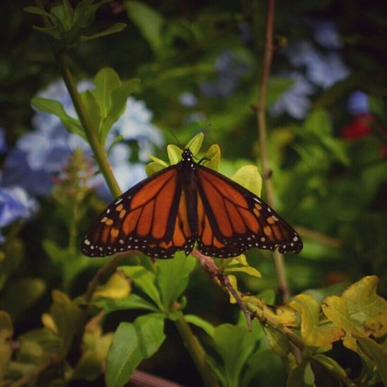 Mariposas Monarcas Animal_collection Animal Photography Nature_collection Butterfly