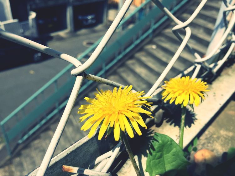 Dandilion  Flowers