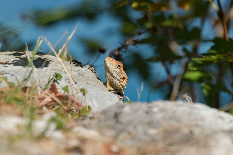 EyeEm Animal Lover EyeEm Nature Lover From My Point Of View Lizard Lizard Watching Lizards Nature Reptile Rock Amphibian Animal Themes Animal Wildlife Animals In The Wild Close-up Colorful Day Nature Nature_collection No People One Animal Outdoors Plant Selective Focus