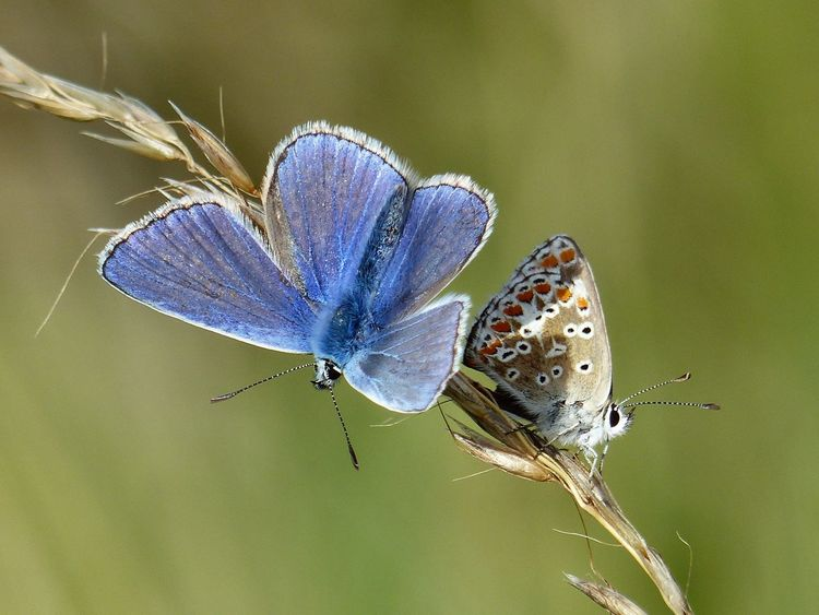 Common blue butterflies on the South Downs - August 2017. East Sussex South Downs Animal Wildlife Brighton Uk Butterfly Butterfly - Insect Common Blue Common Blue Butterfly Hove Insect Nature South Downs National Park