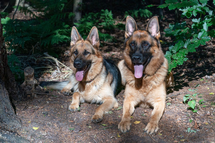 Two beautiful german shepherd dogs lie together. forest, sunlight on the dog's, tongues sticking