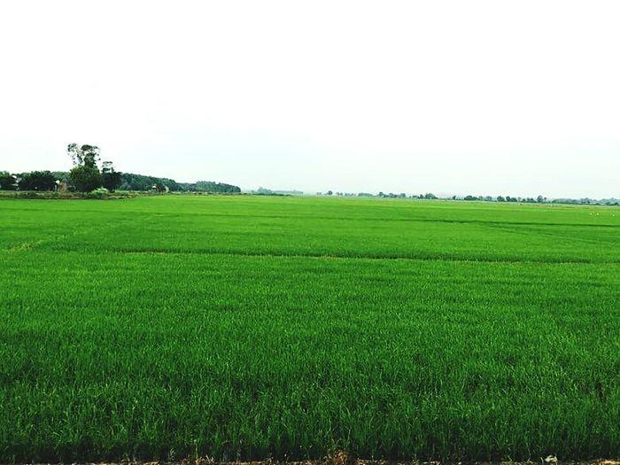 A field in vietnam Field Vietnam Fieldimvietnam