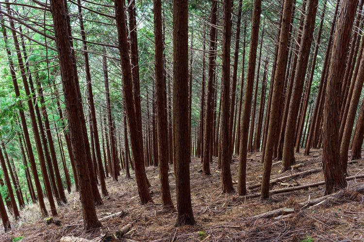 Forest Tree Land Trunk Tree Trunk WoodLand Plant Tranquility Nature Growth Abundance Tranquil Scene Beauty In Nature Day No People Environment Remote Scenics - Nature Bamboo - Plant Bamboo Outdoors Pine Tree Pine Woodland Coniferous Tree