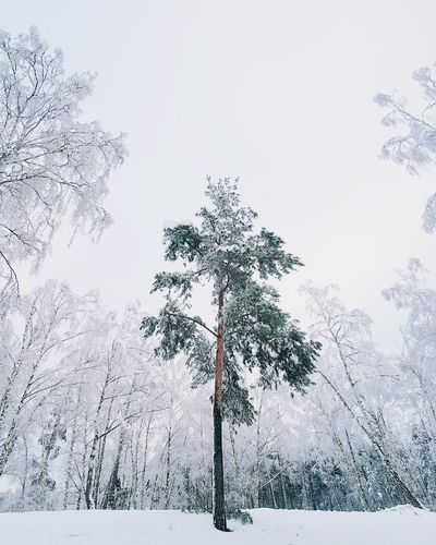 ❄🌲❄︱the last standing Winter Nature Photography Samsungphotography Nature_collection VSCO EyeEm Best Shots EyeEmNewHere EyeEm Nature Lover First Eyeem Photo The Week on EyeEm Minimalism Trees Tree Winter Wonderland Nature Photography White Tree No People Sky Day Nature Outdoors Close-up Shades Of Winter