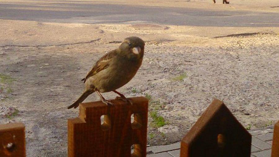 Семки есть? А если найду?фотоохота фотонастроение птицы воробейнеджек Природа Nature Photo Photomood Birds Photo