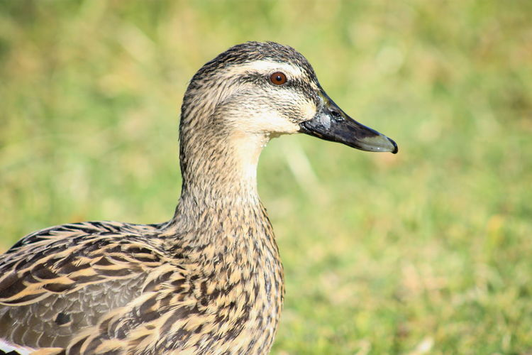 Close up image of a female Mallard Duck Animal Themes Animal Wildlife Animals In The Wild Beak Beauty In Nature Bird Close-up Day Female Focus On Foreground Nature No People One Animal Outdoors