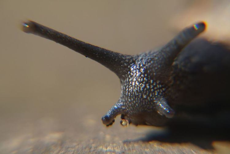 Macro of a snail Animal Body Part Animal Eye Animal Head  Close-up Focus On Foreground Macro Insects Macro Snail No People Selective Focus Snail Still Life