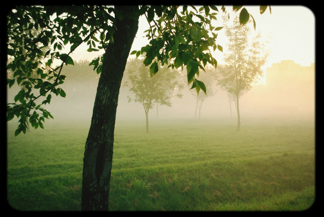 Trees On Grassy Landscape In Foggy Weather