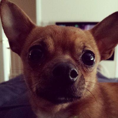 Love this pup Dailyzigga Instadogs Instachi Chiwawa wheresyourgreencard