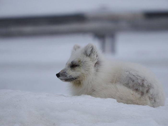 Arctic fox on snow