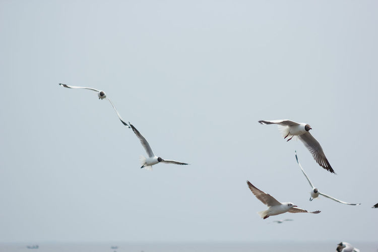 Animal Themes Animal Wildlife Animals In The Wild Beauty In Nature Bird Black-headed Gull Day Flying Mid-air Motion Nature No People Outdoors Seagull Sky Spread Wings Togetherness Water