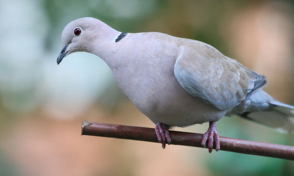 Collared Dove Animal Animal Themes Animal Wildlife Animals In The Wild Beak Beauty In Nature Bird Branch Close-up Day Dove - Bird Focus On Foreground Nature No People One Animal Outdoors Perching Selective Focus Vertebrate Zoology