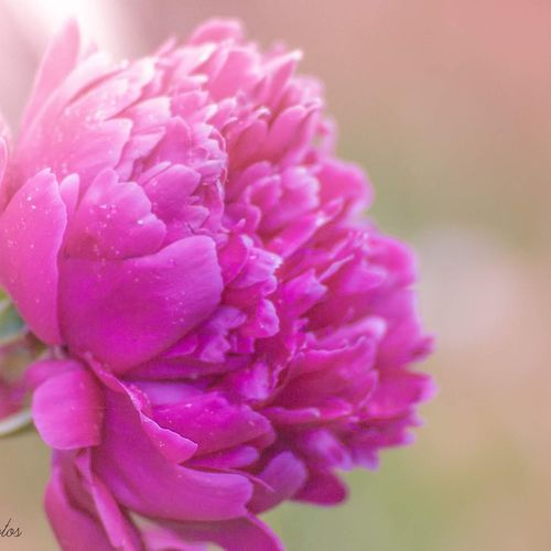 Flower Petal Close-up Pink Color Flower Head Nature Beauty In Nature Flowerphotography Plant Beauty Fragility No People Freshness Day Peony Flower Bright Outdoors Photography