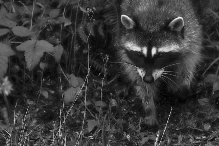 Raccoon No People Mammal Animal Day Animal Themes Vertebrate Nature Outdoors Backgrounds Close-up One Animal Creativity Full Frame