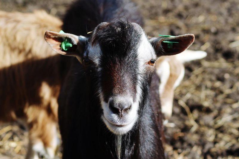 Portrait of black goat