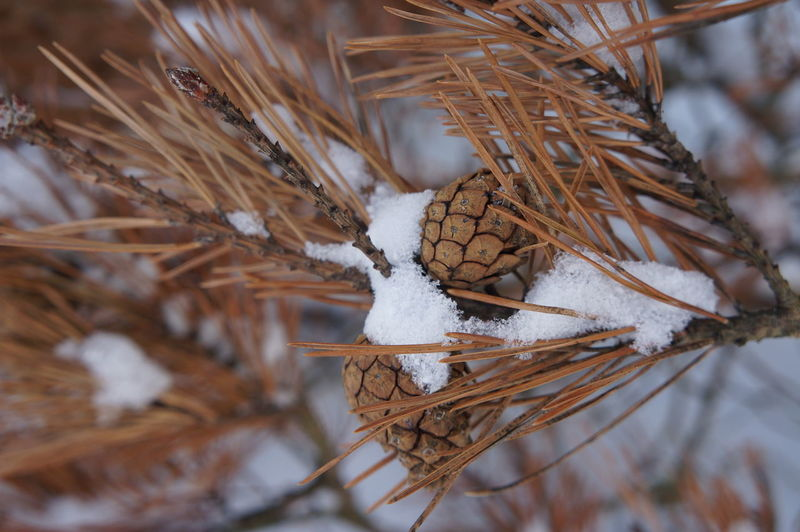 Close-up of dead plant in snow