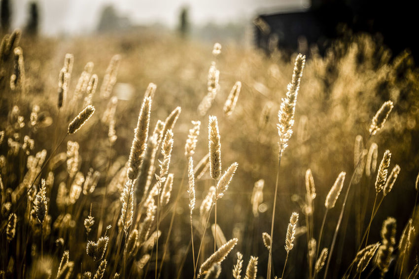 Country sunrise. Agriculture Back Lit Beauty In Nature Botany Cereal Plant Close-up Crop  Day Farm Field Focus On Foreground Grass Growing Growth Nature Outdoors Plant Rural Scene Scenics Selective Focus Stalk Stem Tranquil Scene Tranquility Uncultivated