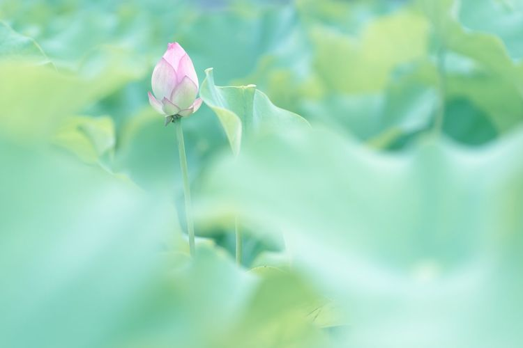 Lotus Flower Flower Flowers Flower Collection Nature Beauty In Nature Growth Fragility Flower Head Blooming No People Getting Inspired The Week On EyeEm SONY ILCE-7M2 SONY SEL90M28G Sony α♡Love Green Color Lotus Water Lily