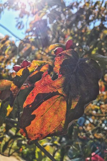 EyeEm Selects Autumn... Leaf Autumn Change Nature Day Outdoors Beauty In Nature Growth No People Focus On Foreground Tree Maple Leaf Close-up Maple Fragility EyeEm Nature Lover EyeEm Best Shots Red Orange Yellow
