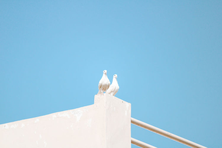 Low angle view of dove perching against clear blue sky