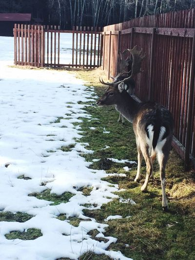 Deer Gamereserve Animal Friendly Feeding  Snow Green Grass Reserve Trees Wild Life Forest