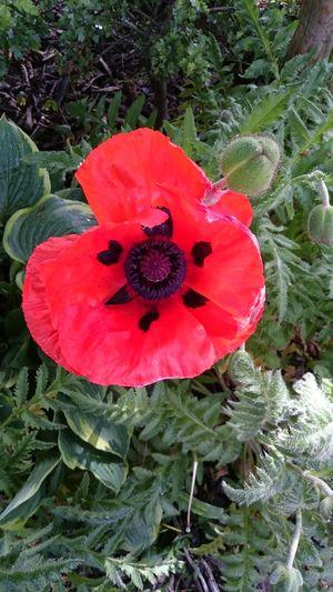 Poppy... Flower
