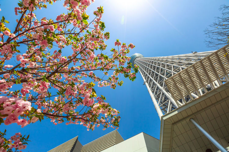 Tokyo Skytree with cherry blossoms in full bloom in Sumida District, Tokyo, Japan. Tokyo Skytree is the tallest tower in the world, broadcasting and observation tower. Asakusa,tokyo,japan Cherry Cherry Blossom Cityscape Hanami Sakura  Japan Japanese  Observatory SkyTree Tower Skyline Skytree Tokyo Tokyo Tokyo,Japan Top Tree Aerial View Architecture Asakusa Blue Branch Building Building Exterior Built Structure Cherry Blossom Day Flower Flowering Plant Freshness Growth Hanami Low Angle View Nature No People Office Building Exterior Outdoors People Plant Sky Skyscraper Skytree Springtime Sumida Sunlight Tower Tree