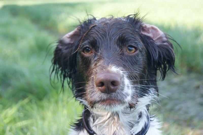 Wet Dog Springer Spaniel Ears Folded Back Cute Dog  Gundog Working Gundog