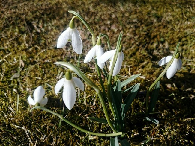 Growth Nature Fragility Plant Grass Flower Field Beauty In Nature No People Snowdrop Freshness Day Flower Head Outdoors Close-up Jönköping Sweden EyeEm Nature Lover Eyeem Market EyeEmBestPics EyeEmNewHere Eye Em Nature Lover EyeEm Best Shots Sony Z2 Photography Z2 Photography