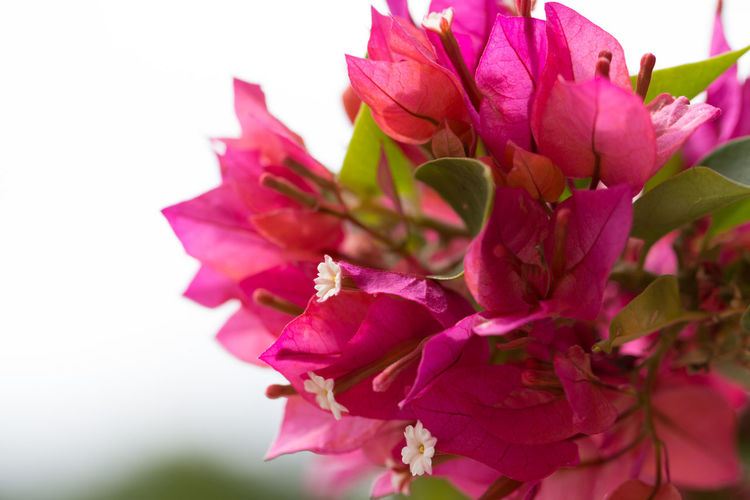Beautiful pink bougainvillea flowers. Autumn; Background; Beautiful; Beauty; Bloom; Blooming; Blossom; Blue; Botany; Bougainvillea; Bush; Closeup; Cloudy; Color; Colorful; Day; Decor; Decoration; Decorative; Female; Field; Flora; Floral; Flower; Flowers; Garden; Green; Landscape; Love; Marco;