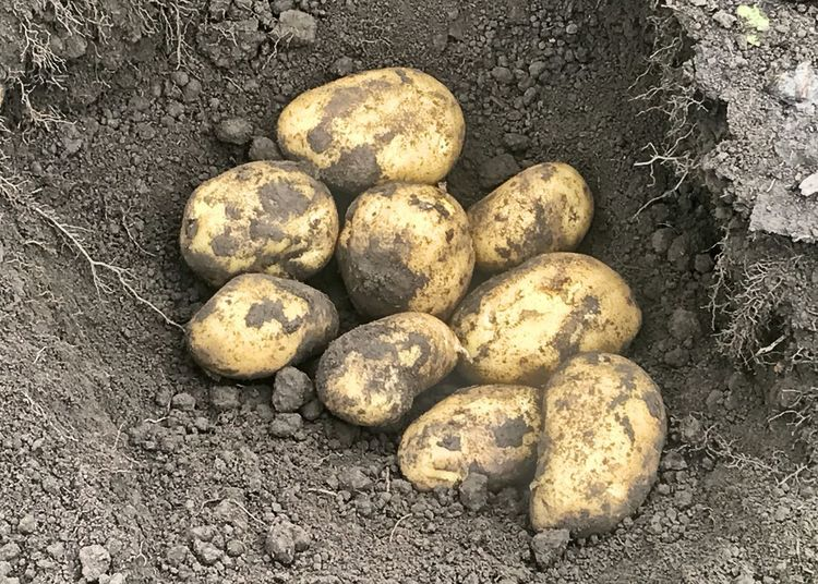 Hill of yellow potatoes. Fresh-market Potatoes Ware Potatoes Horizontal Potato Hill Soil On The Ground Yellow Potatoes Land High Angle View Potato No People Vegetable Day Large Group Of Objects Still Life Raw Potato Freshness Healthy Eating Raw Food