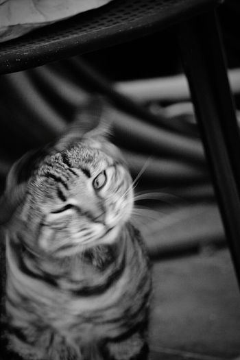 Domestic Animals Domestic Cat Pets Feline Close-up Selective Focus Focus On Foreground No People Animal Eye Ginebra Cat Animal Themes Movement Photography Brunete Monochrome Photography